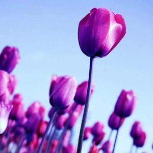 Тюльпаны для женщин дешево